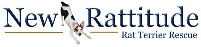 Image: Courtesy of New Rattitude, Rat Terrier Rescue